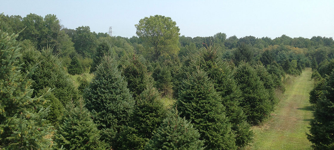 Christmas-trees-Hamilton-NJ